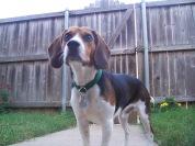 Geoffrey Guard Dog